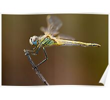Red-veined darter dragonfly Poster