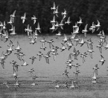 Dunlin by Neil Bygrave (NATURELENS)