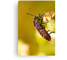 Chinch Bug (Spilostethus pandurus) Canvas Print