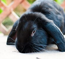 Giant Lop Eared Rabbit by FourPointPhoto