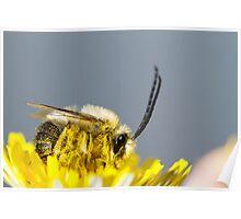 long horned bee Poster