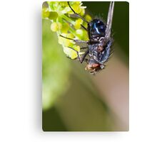 blow fly Canvas Print