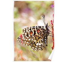 Spanish festoon butterfly (Zerynthia rumina) Poster