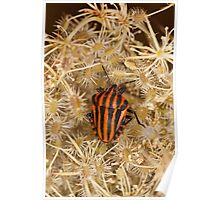 Striped shield bug Poster