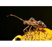 Centrocoris variegatus insect Photographic Print