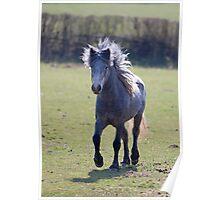 Eriskay Pony Poster