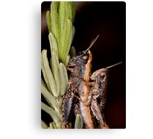 two grasshoppers Canvas Print