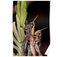 two grasshoppers Poster