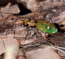 Green tiger beetle by Mauro Rodrigues