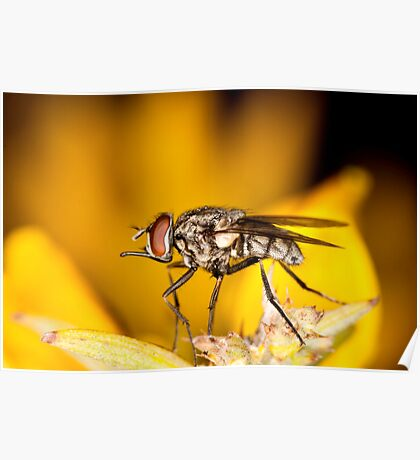 flesh-fly Poster