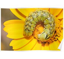 coiled caterpillar Poster