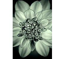 A Dahlia thinking happy thoughts Photographic Print