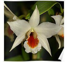 White Cimbidium Orchid Poster