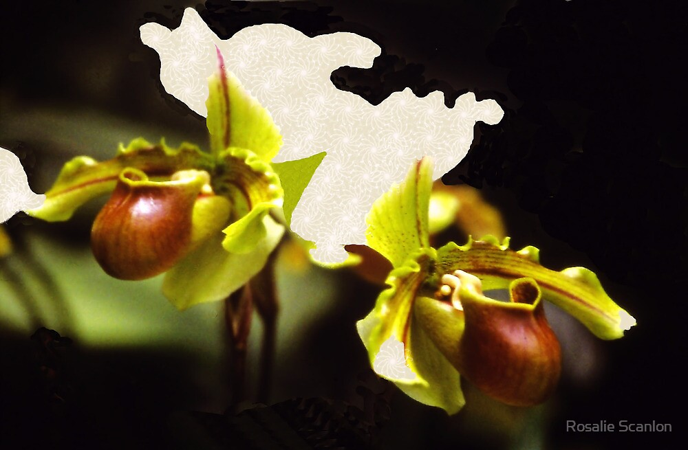 Paphiopedilum Orchid by Rosalie Scanlon