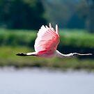 Pink Heron in flight no3 by Sylvain Dumas
