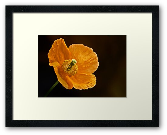 California Poppy by cclaude