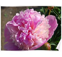 Peonies of 2012 Poster