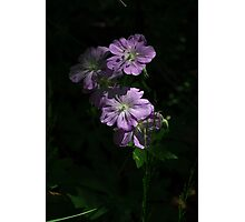 Geraniums in the Shadows Photographic Print