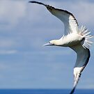 Red-footed Booby by thatche2