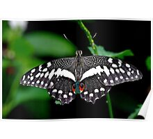 Citrus swallowtail butterfly Poster
