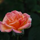sweet peace rose by Gloria McAfee-Carver