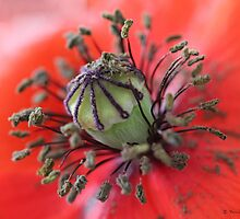 Wild poppy centre details by Photos - Pauline Wherrell