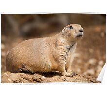 Prairie Dog Poster