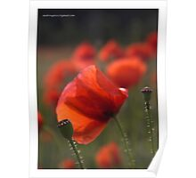 ❤❤❤ As you know ,  I love colorful poppies !  Featured in The Silky Touch &  Colour and light . Mon Dieu ! Merci  bien ! Amen. Poster