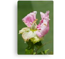 dried peony in the garden Metal Print