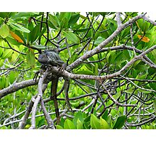 Dinosaur in the mangroves Photographic Print