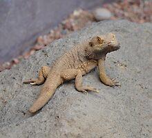 Bearded Iguana by mltrue