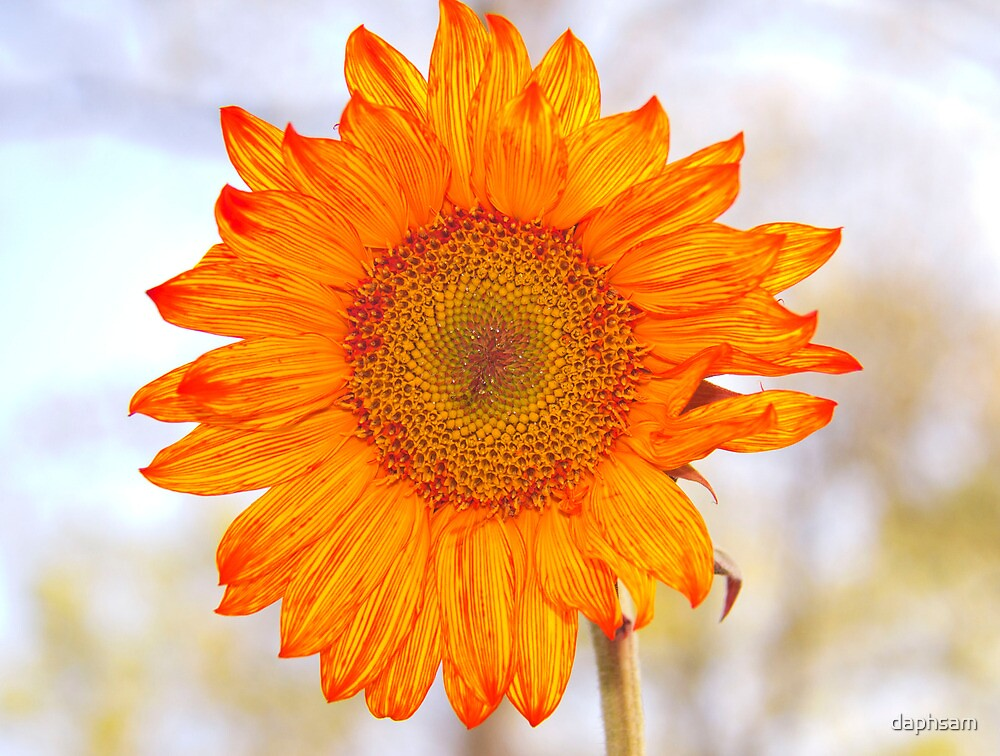 Brillant Orange Sunflower by daphsam