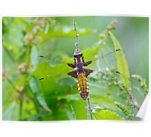 Broad bodied chaser Dragonfly Poster