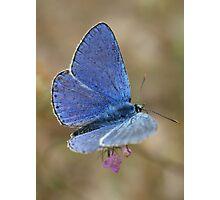 Common Blue Photographic Print