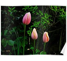 Tulips pink Poster