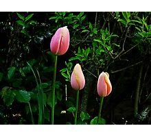 Tulips pink Photographic Print