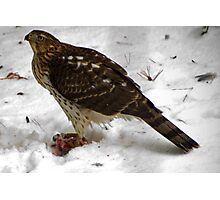 Survival of the Red Tailed Hawk  Photographic Print
