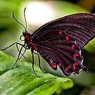 Velvet Rose Swallowtail  by Rebecca Reist