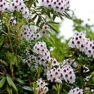 """The """"Calsap"""" Rhododendron... by Carol Clifford"""