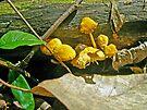 Yellow Sandpaper Mushrooms by MotherNature