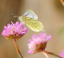 Cabbage White Butterfly by EddieB63