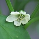 Flowering Pepper Plant by Lorelle Gromus