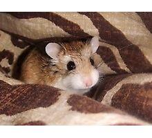Cheese the Roborovski Hamster Photographic Print