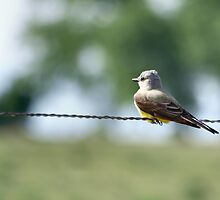 Western Kingbird  -  Tyrannus verticalis by Barb Miller