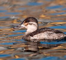 Ruddy Duck by (Tallow) Dave  Van de Laar