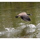 Goose over river by Nativeexpress