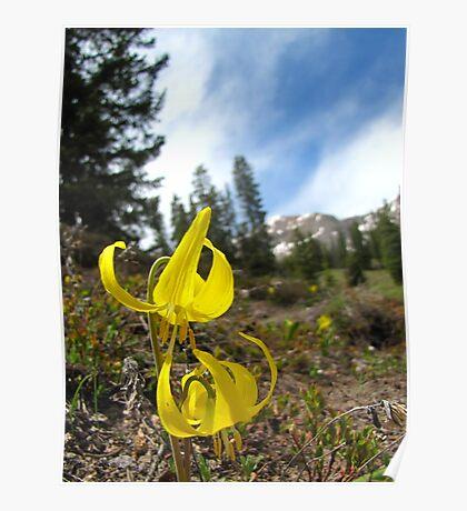 Glacier Lily Poster