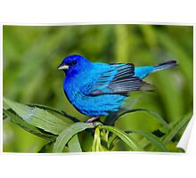 Male Indigo Bunting Poster