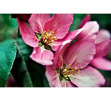 Cherry Blossoms, West Coast USA  Photographic Print