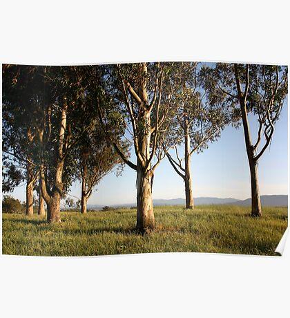 Eucalyptus Trees Poster